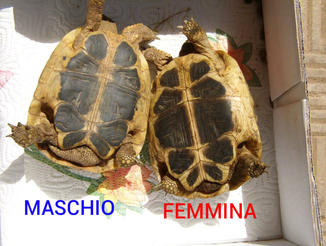 Testudo_hermanni_hermanni_Male_female1
